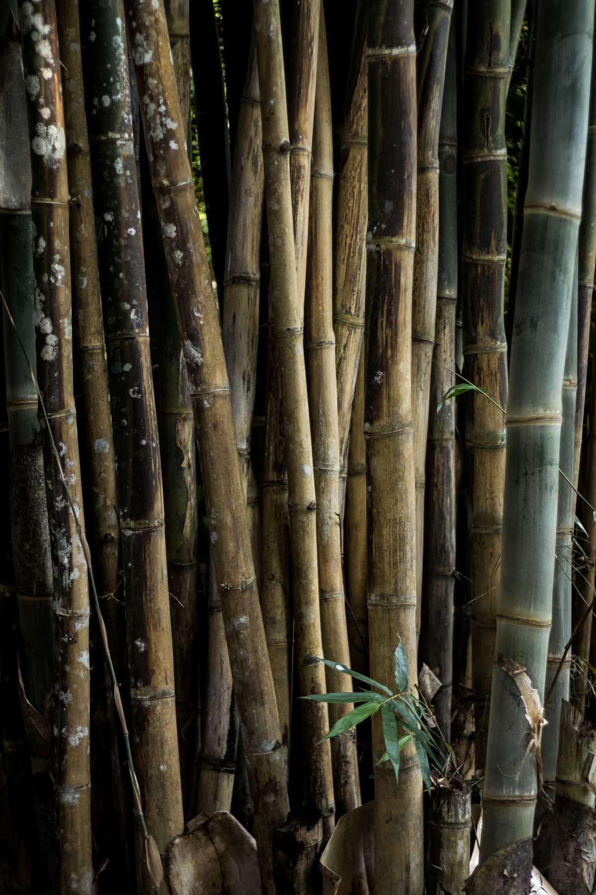 Bamboo of Mt. Suthep