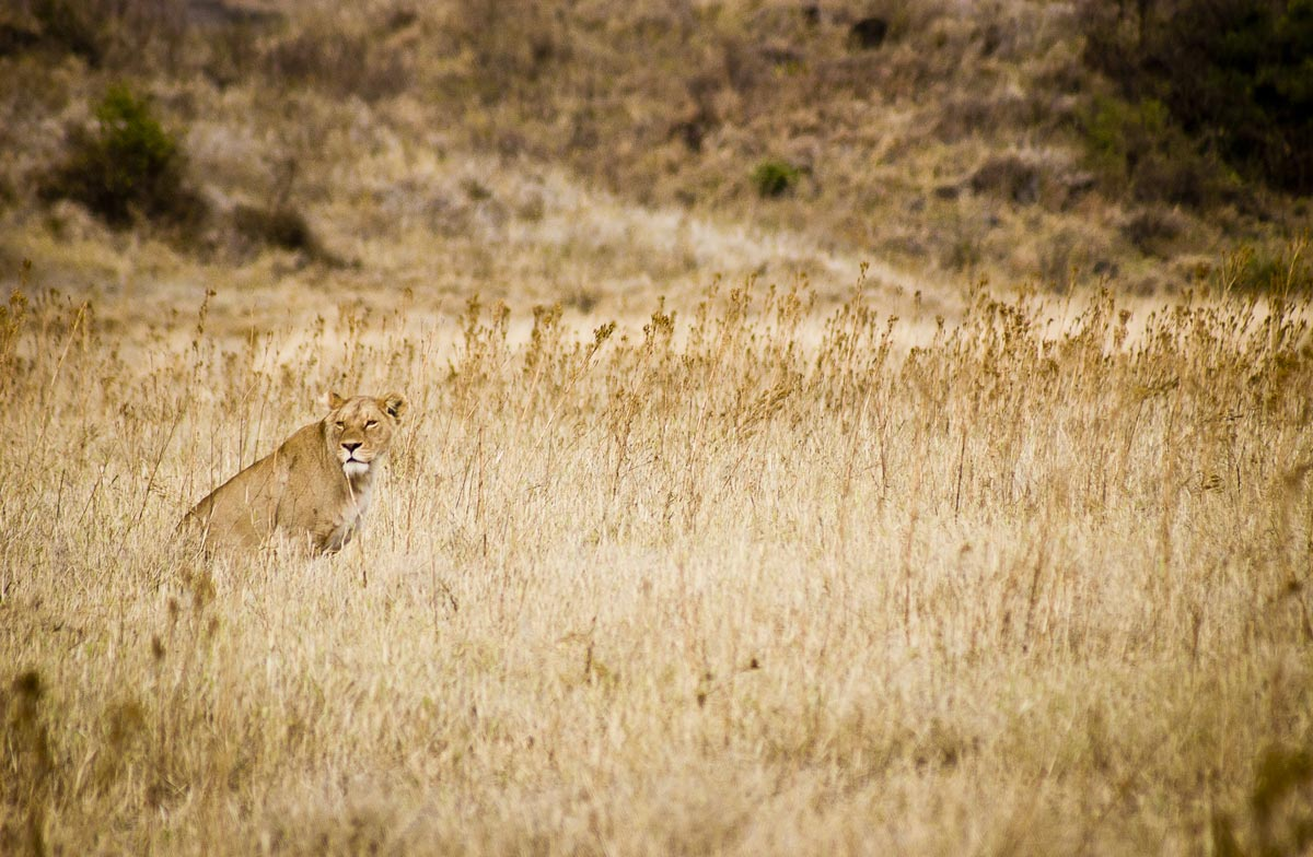 Lioness Looking For A Meal